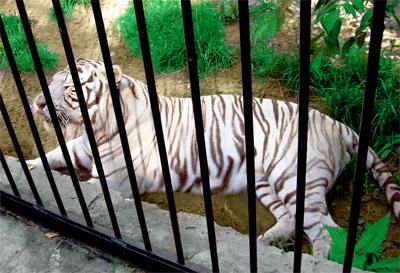 Белый тигр в Новосибирском зоопарке